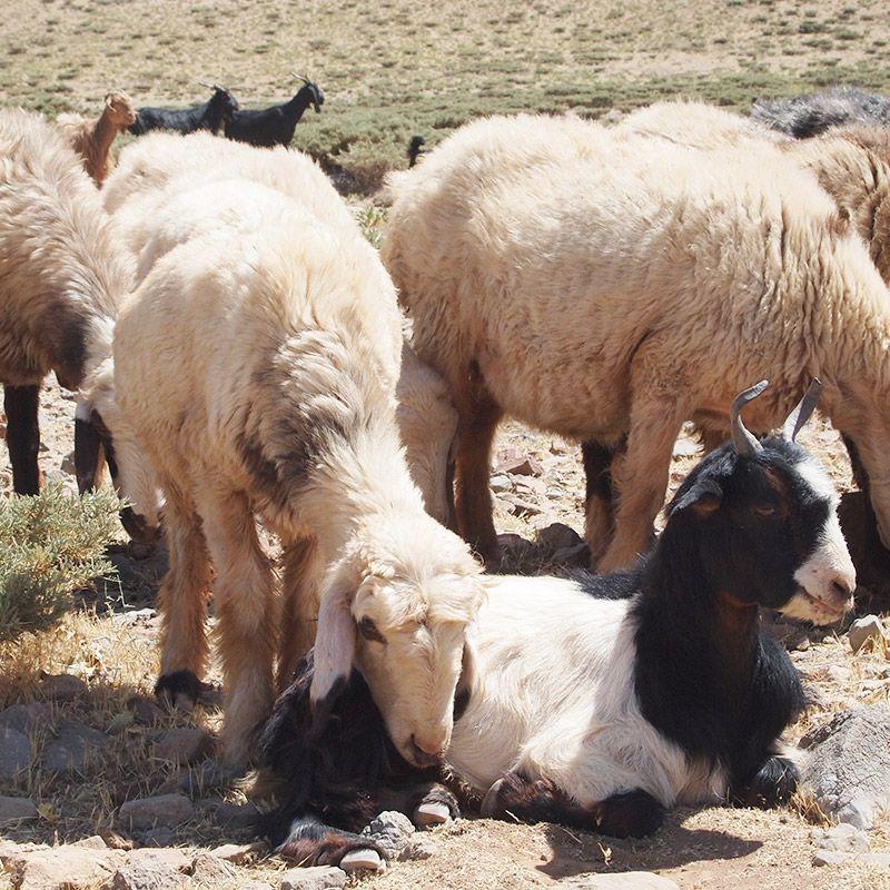 羊 イメージ